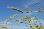 Ears of rye (wheat) — Stock Photo