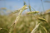 Ears of rye (wheat) — Stok fotoğraf