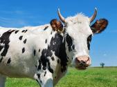 Młody rogatego krowy łaciate — Zdjęcie stockowe