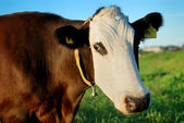 Brown cow with white muzzle — Stock Photo
