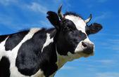 Widok krowy rogaty — Zdjęcie stockowe