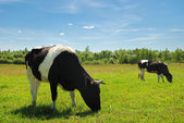 Couple of cows — Stock Photo