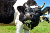 Cow chewing grass — Stock Photo