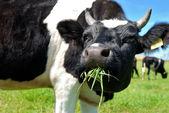 Krowy trawy do żucia — Zdjęcie stockowe