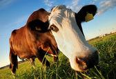 Ciekawy brązowe krowy — Zdjęcie stockowe