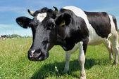 Ciekawy krowy na zielonych pastwiskach — Zdjęcie stockowe