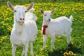 She-goat and goatling — Stock Photo