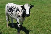Nakrapiane krowa — Zdjęcie stockowe