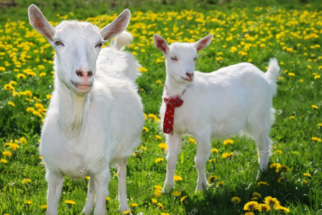 She-goat and goatling standing on summer pasture with yellow flowers and green grass and looking directly in the photographer's camera — Stock Photo #1043642