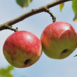 Pair of apples on tree outdoors — Stock Photo