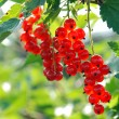 Stock Photo: Bunches of mellow red currant