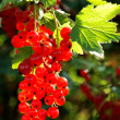 Stock Photo: Cluster of mellow red currant