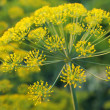 Dill. Umbelliferous aromatic Eurasian pl - Stock Photo