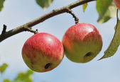 Pair of apples on tree outdoors — Foto de Stock
