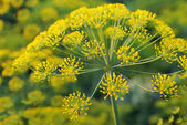 Dill. Umbelliferous aromatic Eurasian pl — Stock Photo