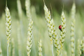 Ears of rye and ladybird — Stock Photo