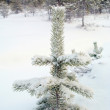 Snow-covered firtree - Stock Photo