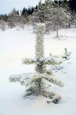 Snow-covered firtree — Stock Photo