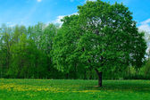 Green big tree in summer time — Stock Photo