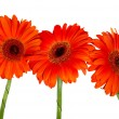 Stock Photo: Three red gerberas
