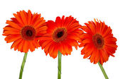 Three red gerberas — Stock Photo