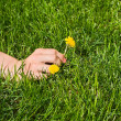 Woman`s hand picking a yellow flower — Stock Photo