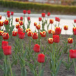 The tulips expand in the sun — Stock Photo