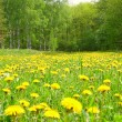 Field with dandelions in wood — Stock Photo #1051258