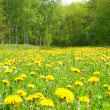 Field with dandelions in wood - Stock Photo
