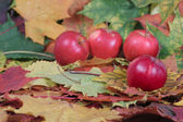 Four red apples on autumn leaves — Stock Photo