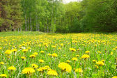 Field with dandelions in wood — Stock Photo