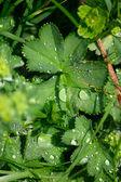 Morning dew on foliage — Stock Photo