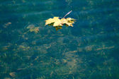 Autumn maple leaf floating in water — Stock Photo