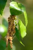 Green birch sheet with an ear ring — Stock Photo