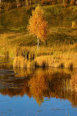 Autumn birch on river bank — Stock Photo