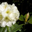 White Rhododendron — Photo