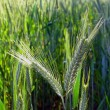Stock Photo: Two barley ears in field
