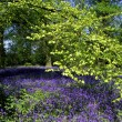 Bluebell wood — Stock Photo
