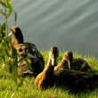 Stock Photo: Ducks ashore pond