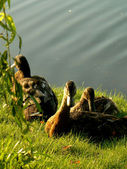 Ducks ashore pond — Stock Photo