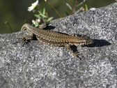 Lizard in the sun — Stockfoto