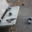 Royalty-Free Stock Photo: Pidgeons eating at the park