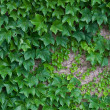 Royalty-Free Stock Photo: Ivy on the wall