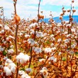 Stock Photo: Cotton Bolls