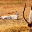 Stock Photo: Addax