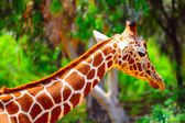 Head Of Reticulated Giraffe, Girafa Camelopardalis Reticulata. — Stock Photo
