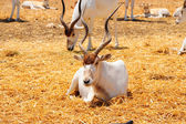 Addax — Stock Photo