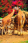 Two Reticulated Giraffes, Girafa Camelopardalis Reticulata, Against Perianth Background — Stock Photo