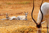 Addax Live In Herds Of About Twenty Individuals. — Stock Photo