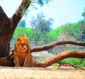 Lions — Stock Photo